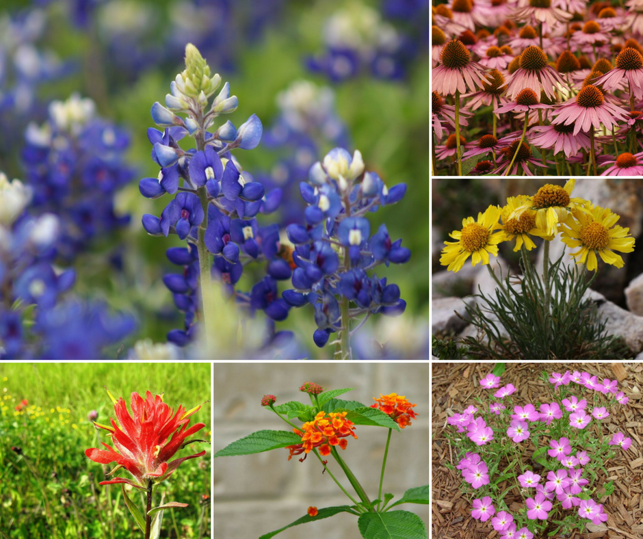 Photo Gallery Texas Wildflowers